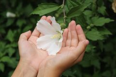 Beautiful flower in hand royalty free stock photo