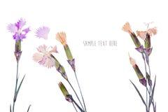 Beautiful flower herbarium arnation Stock Images