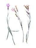 Beautiful flower herbarium arnation Stock Photos