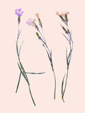 Beautiful flower herbarium arnation Stock Photography
