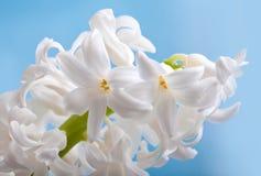 Beautiful flower hyacinth royalty free stock photography