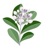 A Group of Fresh Calotropis Gigantea Flowers Royalty Free Stock Photos