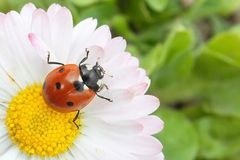 Beautiful flower and insect. The sunset on the flower. Insect on a chamomile stock photos