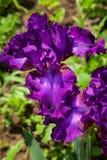 Iris. Beautiful flower iris closeup. violet Stock Photography