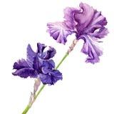 Beautiful flower iris. Iris. watercolor painting on white background Stock Photography
