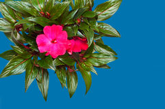 Beautiful flower isolated on a blue background Royalty Free Stock Photo