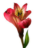Beautiful flower isolated on white background Royalty Free Stock Photography