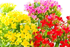 Beautiful flower of kalanchoe. Stock Images