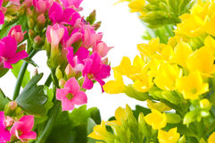 Beautiful flower of kalanchoe Stock Images