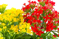 Beautiful flower of kalanchoe Royalty Free Stock Images