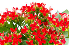 Beautiful flower of kalanchoe stock photo