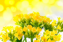 Beautiful flower of kalanchoe Royalty Free Stock Photos