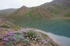Beautiful flower and lake of the Northern Pamirs. Beautiful flower grows in the North Pamir Transalai ridge in the valley. Kurumdy. Delicate plants grow in the Stock Photo