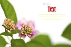 Beautiful flower (Lantana camara) isolated Royalty Free Stock Images