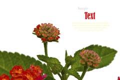 Beautiful flower (Lantana camara) isolated Stock Image