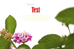Beautiful flower (Lantana camara) isolated Stock Photo