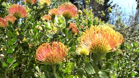 The beautiful flower - Leucospermum, California sunrise. Saw at San Francisco Botanical Garden, California, United States stock video footage