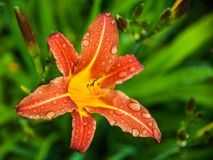 Beautiful flower Lily stock images