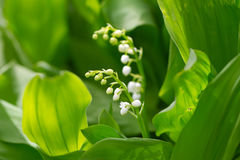 Beautiful flower lily of the valley Royalty Free Stock Photos