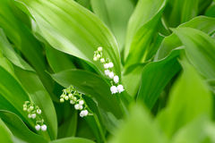 Beautiful flower lily of the valley Stock Images
