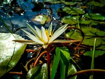 Beautiful flower of lotus. In the lake royalty free stock photo