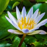 Beautiful flower lotus. Beautiful flower for merit royalty free stock photos