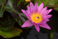 Beautiful  flower lotus pink Royalty Free Stock Photography