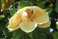 Beautiful flower Magnolia Royalty Free Stock Photo