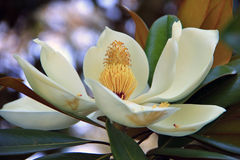 Beautiful flower Magnolia Stock Images