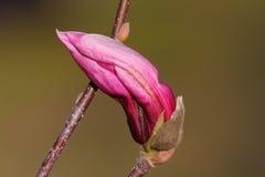 Beautiful flower on magnolia tree Stock Photography