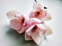 Beautiful first spring flower magnolia close up royalty free stock images