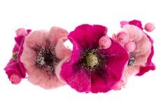 Beautiful flower Malva souvenir made of woolv Stock Images