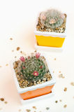 Beautiful flower of mammillaria bocasana in ceramic flower pot Stock Images