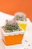 Beautiful flower of mammillaria bocasana in ceramic flower pot Stock Photos