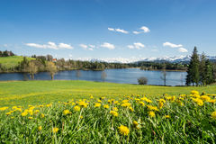 Beautiful flower meadow at lake shore and snow covered mountains. royalty free stock photos