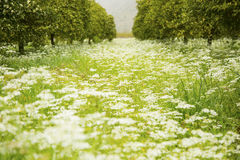 Beautiful flower meadow in springtime surrounded by orange trees. A beautiful wild and natural flower meadow in springtime. The picture shows wild growing white Stock Images