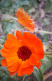 Beautiful Flower. This is the most beautiful flower in my garden Royalty Free Stock Images
