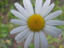 Ox-eye-daisy in my garden royalty free stock photography
