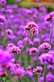Beautiful flower in nature. Royalty Free Stock Photography