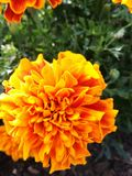 Beautiful Flower. Orange flower Stock Images
