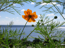 Beautiful flower of orange cosmos on the background of landscape with river Stock Image