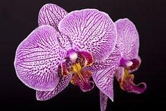 Beautiful flower orchid. On black background Royalty Free Stock Photo