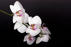 Beautiful flower orchid. On black background Stock Image