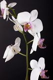 Beautiful flower orchid. On black background Stock Photography