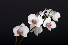 Beautiful flower orchid. On black background Royalty Free Stock Images