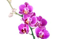 Beautiful flower orchid. Colorful flower orchid on white background Stock Photography