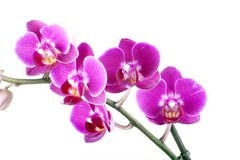 Beautiful flower orchid. Colorful flower orchid on white background Royalty Free Stock Photos
