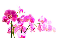 Beautiful flower Orchid Stock Photography