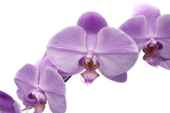 Beautiful flower Orchid, blue Phalaenopsis close-up. Royalty Free Stock Image