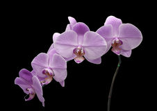 Beautiful flower Orchid, blue Phalaenopsis close-up. Royalty Free Stock Photography